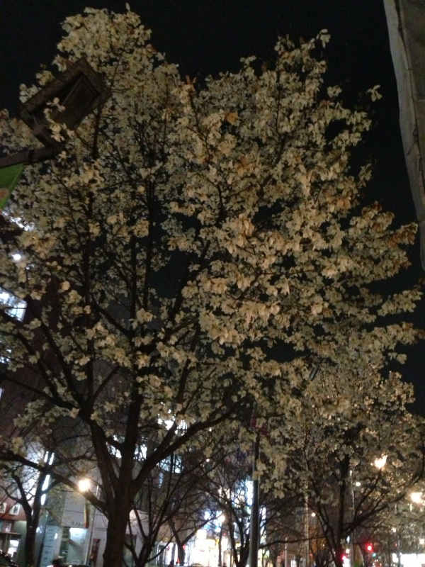桜新町 桜並木
