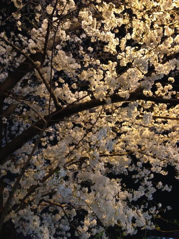 桜新町 桜並木 満開2
