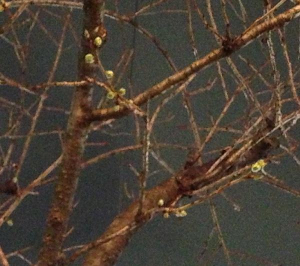 桜新町 桜の木