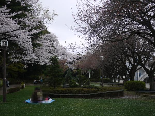馬事公苑 桜