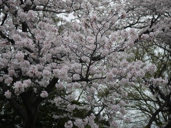 馬事公苑の桜