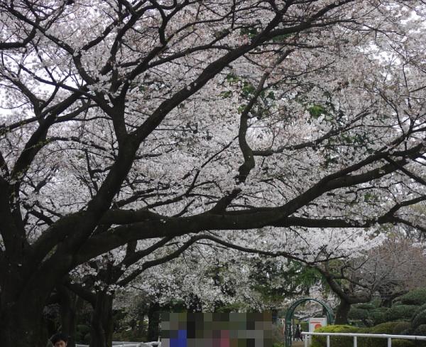 馬事公苑 放牧場の桜