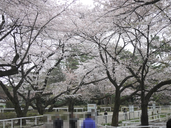 馬事公苑 放牧場の桜2