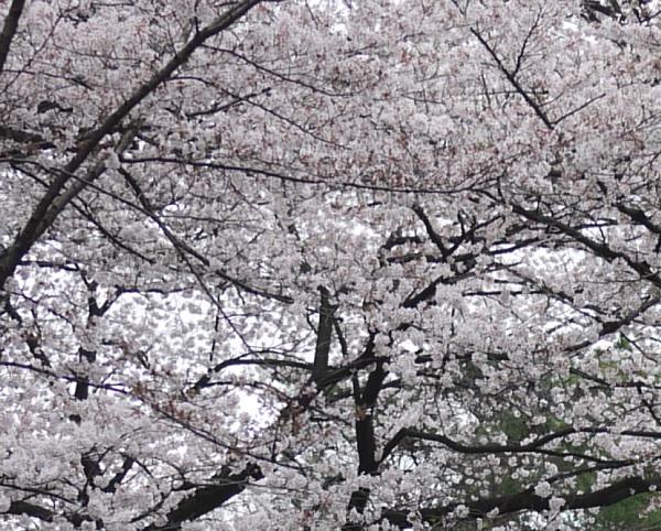 馬事公苑 放牧場の桜3