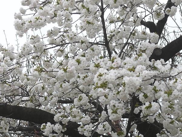馬事公苑 桜 タイトル画像