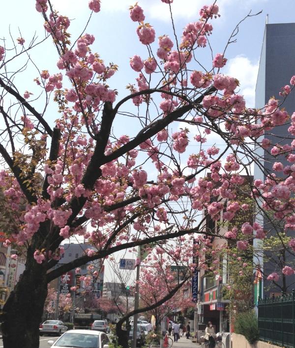 桜新町 八重桜