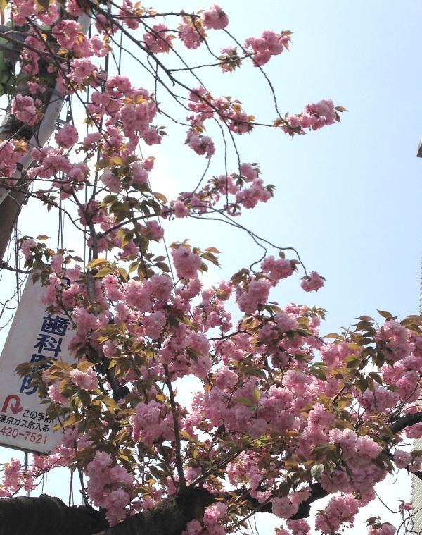 桜新町 八重桜2